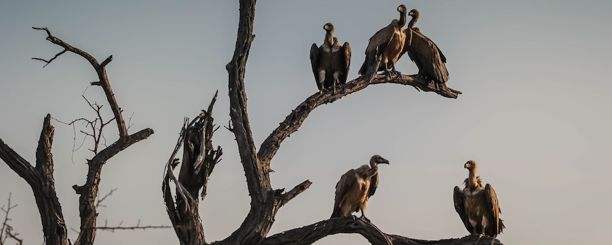 Vultures Waiting on a Tree